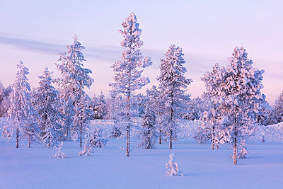 Frozen trees in the snowy woods, Luosto, Sodankyla municipality, Lapland, Finland - p871m2019786 by Roberto Moiola