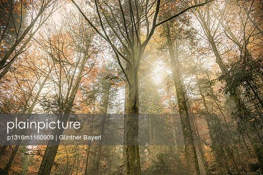 Herbstlicher Wald in Nebel gehüllt beim Triberger Wasserfall, Triberg im Schwarzwald, Baden-Württemberg, Deutschland - p1316m1160909 von Günther Bayerl