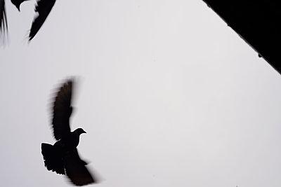 Taube im Flug - p067m1131812 von Thomas Grimm