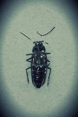 Dead broken Long-horned beetle lying on back (Ergates faber female) - p1028m1065443 by Jean Marmeisse