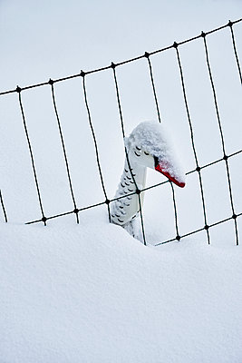Plastic swan in snow - p1312m2191373 by Axel Killian