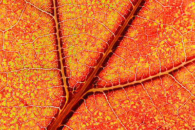 Part of red orange maple leaf - p300m975255f by Mark Johnson