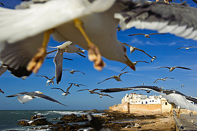 Flock of seagulls flying over the fortified walls of Essaouira, Morocco - p3437853 by Guillem Lopez