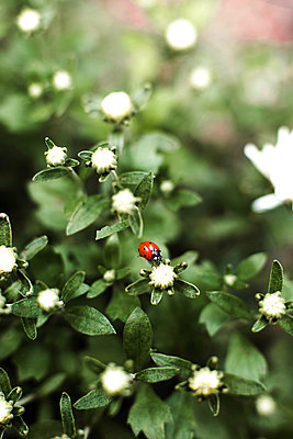 Close-up of ladybug on plant - p1166m2111590 by Cavan Images