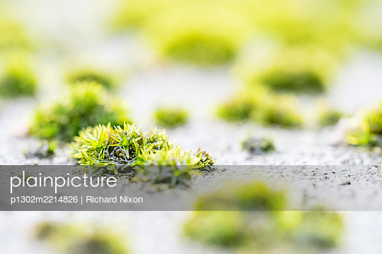 Close up shot of some Silky Forklet Moss - p1302m2214826 by Richard Nixon