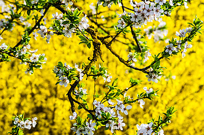 White apricot blossoms and yellow forsythia blossoms - p300m1153582 by Hans Mitterer