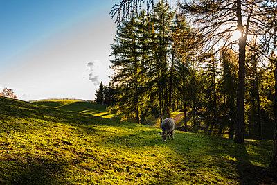 Kuh, Radein, Südtirol - p488m1087576 von Bias