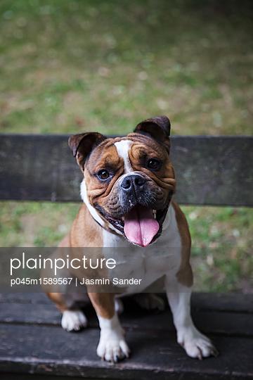 Hund sitzt auf Parkbank - p045m1589567 von Jasmin Sander
