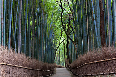 View along path lined with tall bamboo trees. - p1100m1520343 by Mint Images