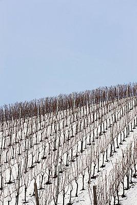 Weinberge im Winter - p248m1004118 von BY