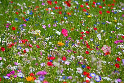 Blumenwiese III - p427m917315 von R. Mohr