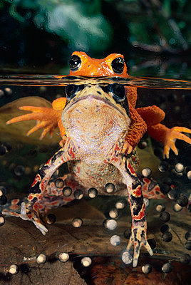 Golden Toad pair spawning - p884m864483 by Michael & Patricia Fogden