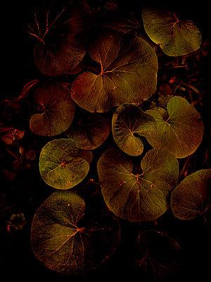 Winter heliotrope leaves (Petasites pyrenaicus) - p1028m2263935 by Jean Marmeisse