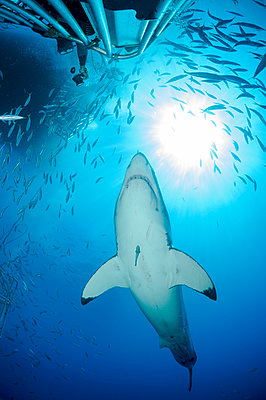 Mexico, Guadalupe, Pacific Ocean, scuba diver in shark cage photographing white shark, Carcharodon carcharias - p300m937400 by Guido Floren