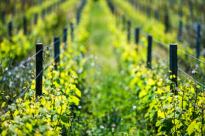 Vineyard on Sark Island, Channel Islands, United Kingdom - p871m2034133 by Photo Escapes