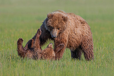Grizzly Bear mother and cub playing - p884m864440 by Ingo Arndt