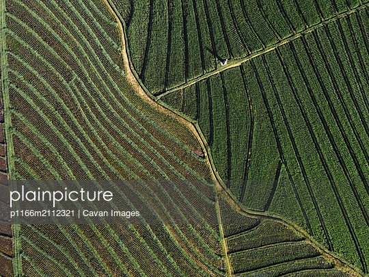 Aerial view of the rice fields - p1166m2112321 by Cavan Images