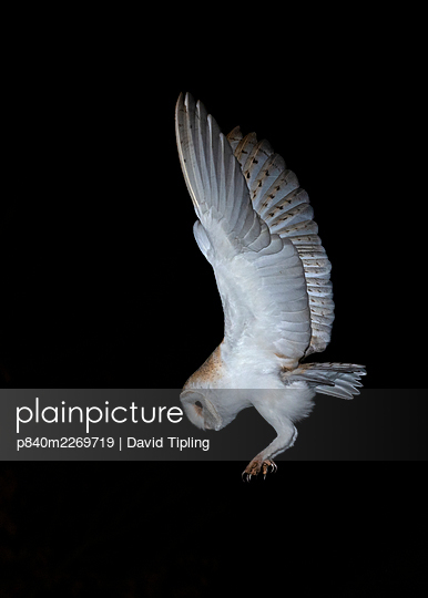 Barn owl (Tyto alba) in flight at night, about to land, North Norfolk, England, UK, March. - p840m2269719 by David Tipling