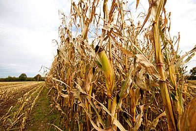 Mais Ernte im Herbst - p979m909815 von Fred Dott
