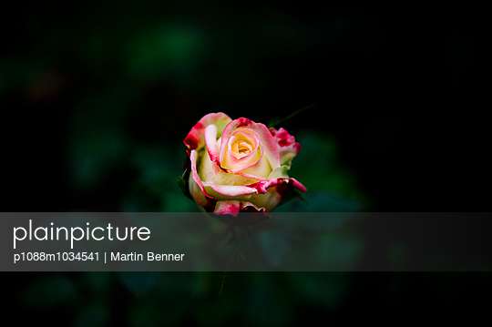 Rose - p1088m1034541 by Martin Benner