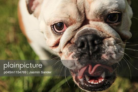 Englische Bulldogge - p045m1154769 von Jasmin Sander