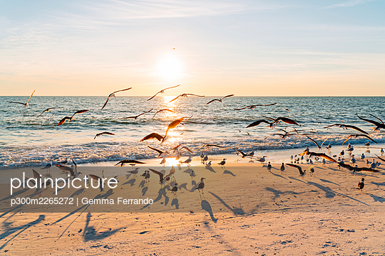 Flock of birds at Lovers Key State Park beach with sun setting in background, Fort Myers, Florida, USA - p300m2265272 by Gemma Ferrando