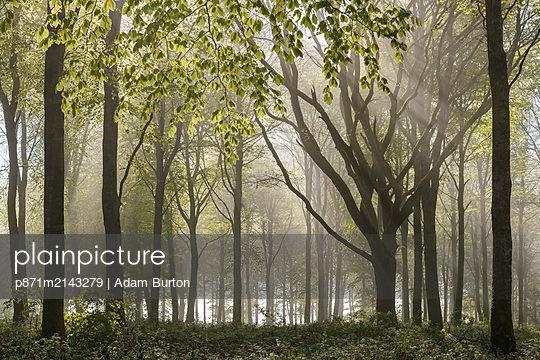 Morning sunlight streams into a deciduous woodland in spring, Wadebridge, Cornwall, England, United Kingdom - p871m2143279 by Adam Burton