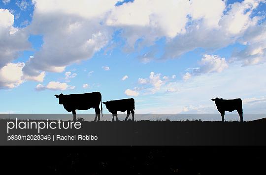 Rinder - p988m2028346 von Rachel Rebibo