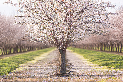 Almond trees at farm - p1166m1546124 by Cavan Social