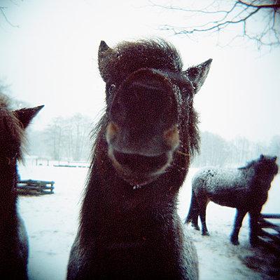 Pferde im Schnee - p1197m995461 von Stefan Bungert