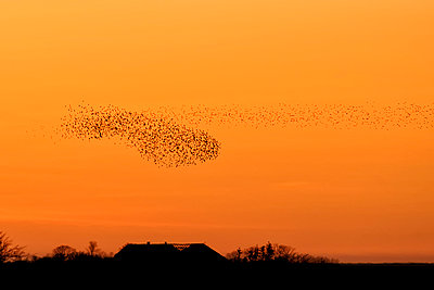 Germany, Schleswig-Holstein, Sunset and starlings, Sort Sol - p300m929908f by Hans Clausen