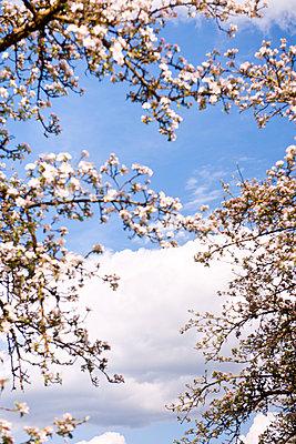 Blühende Zweige eines Apfelbaumes - p533m1152698 von Böhm Monika