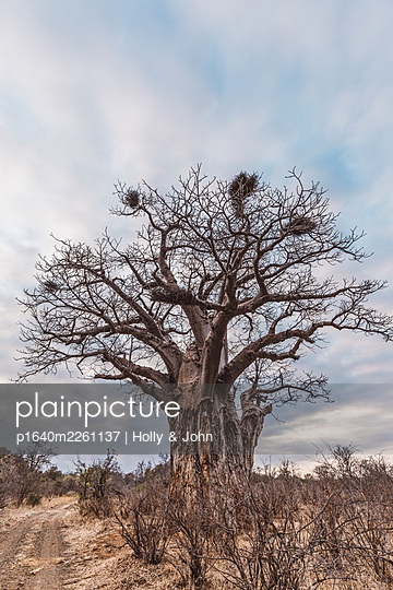 Dead tree in the savannah, South Africa - p1640m2261137 by Holly & John