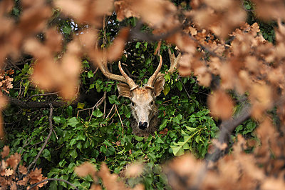 Deer figure in the brushwood - p1468m1558889 by Philippe Leroux