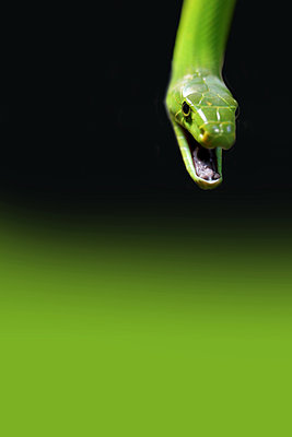Grüne Mamba     - p450m1071654 von Hanka Steidle