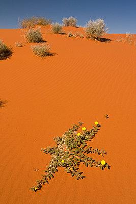 Desert in Australia - p1016m792513 by Jochen Knobloch