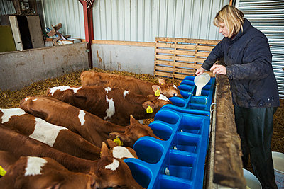 Woman standing in a stable, pouring milk into a feeder for brown and white calves. - p1100m1450919 by Mint Images