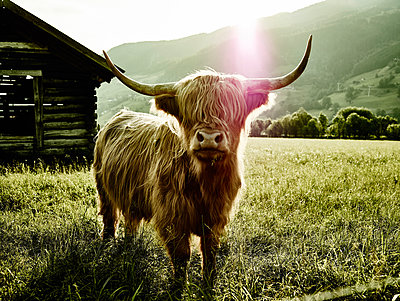 Portrait of bull in the pasture - p961m1590905 by Mario Monaco