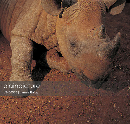 Black rhinoceros - p3430365 by James Balog