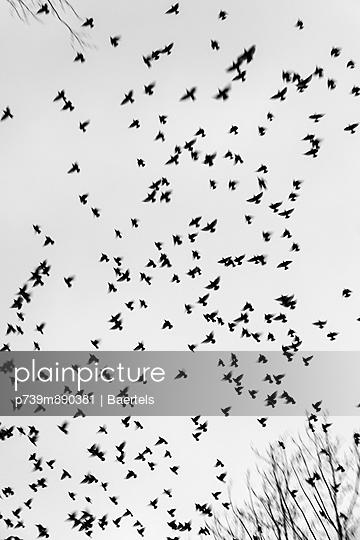 Starlings in flight - p739m890381 by Baertels