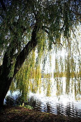 Weeping willow - p179m1119598 by Roland Schneider