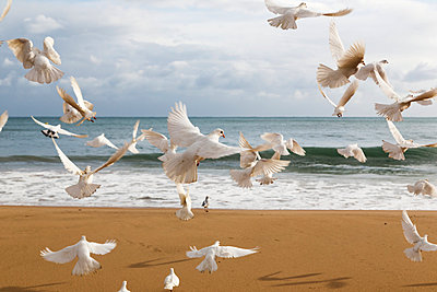 A flock of white birds takes flight on a beach at the water's edge; Benidorm, Spain - p442m1033620f by John Short