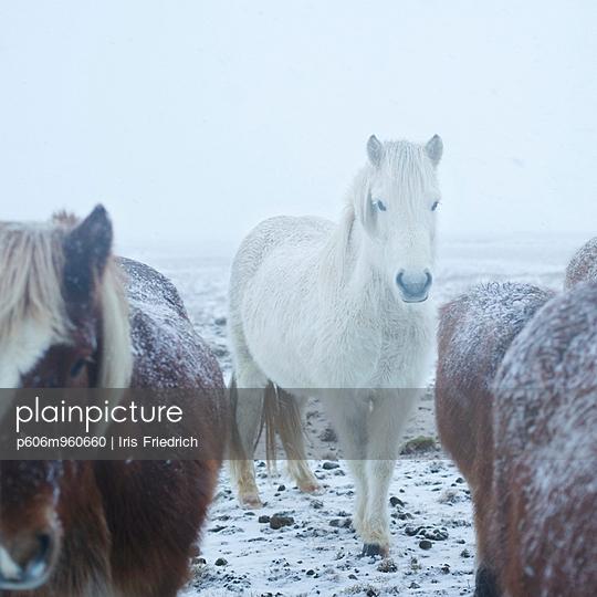 Icelandic horses - p606m960660 by Iris Friedrich