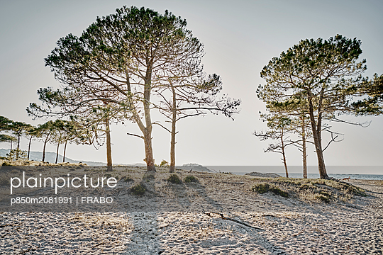 Pine trees on beach - p850m2081991 by FRABO