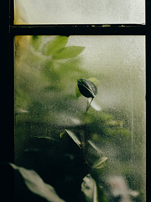 Monstera plant pushed up against glass in botanic garden - p1166m2177366 by Cavan Images