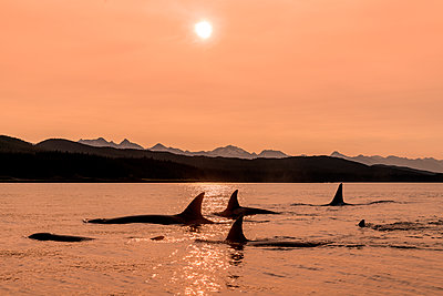 Orca whale (Orcinus orca) pod in Lynn Canal at sunset, Southeast Alaska; Alaska, United States of America - p442m2074244 by John Hyde