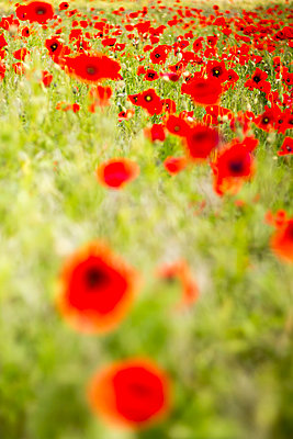 Cornfield with red poppies - p739m1030881 by Baertels