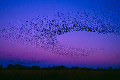 A flock of starlings flying at night - p575m1074709f by Henrik Karlsson