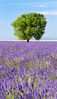 Tree in a lavender field, Valensole plateau, Provence, France - p6510984 by Nadia Isakova photography