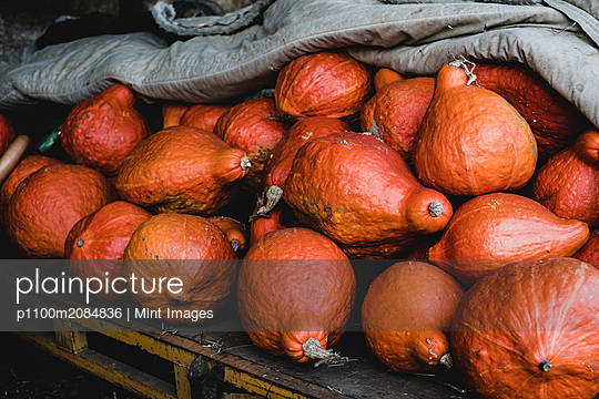 High angle close up of freshly harvested orange Hubbard pumpkins. - p1100m2084836 by Mint Images